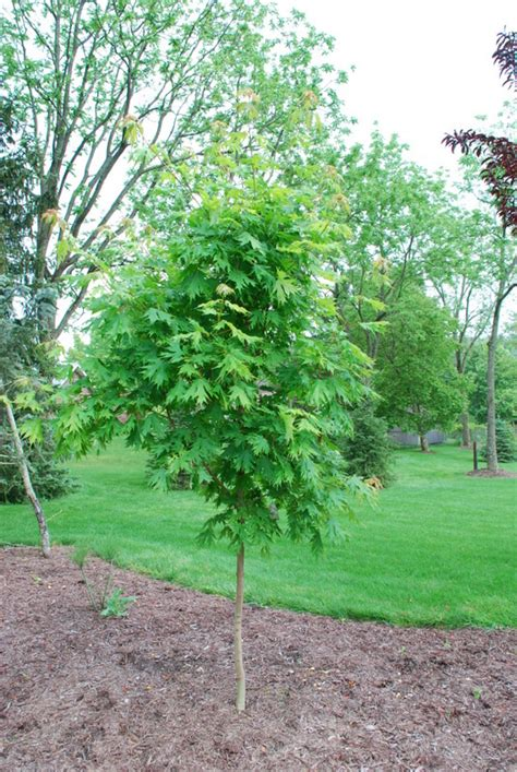maple tree clay soil acer saccharum sweet shadow the site gardener