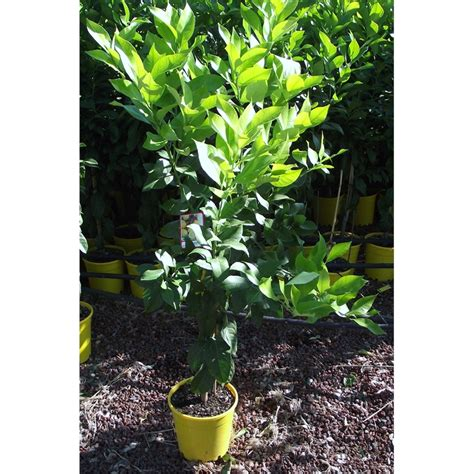 bunnings trees 200mm lisbon lemon tree bunnings warehouse