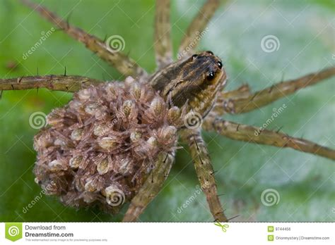 Garden Spider Spiderlings Wolf Spider With Spiderlings On Its Back Stock Photo