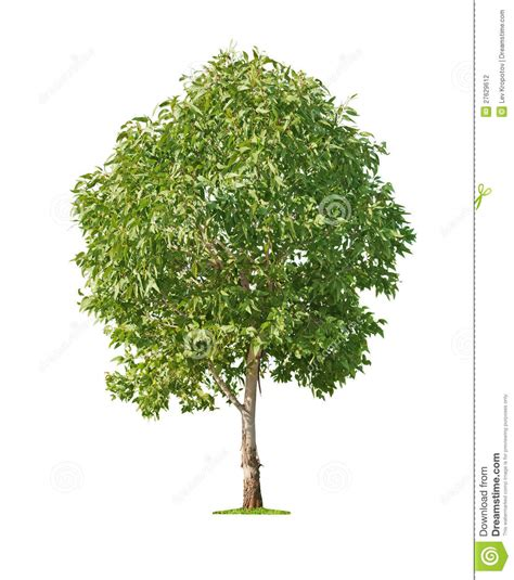 tree on white background tree on white background stock photography image 27629612