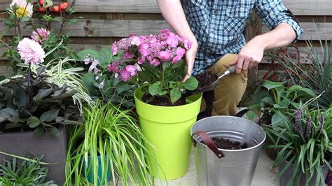 comment planter un hortensia en pot