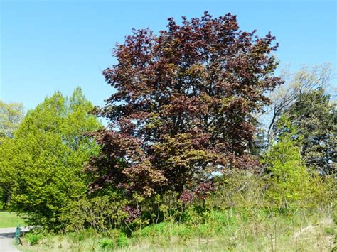 maple tree kingdom toronto wildlife maple family