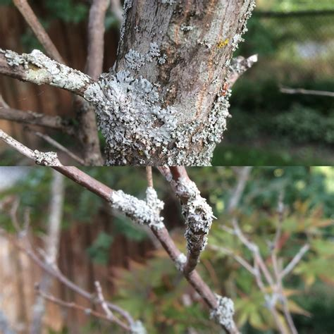 maple tree problems silver maple tree disease ask an expert