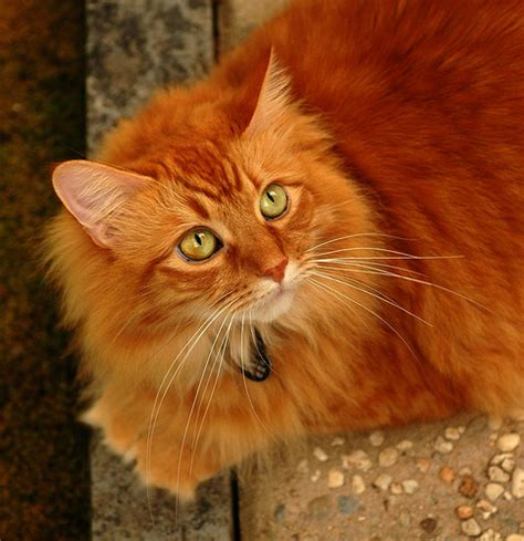 orange cat most beautiful orange cat about cats