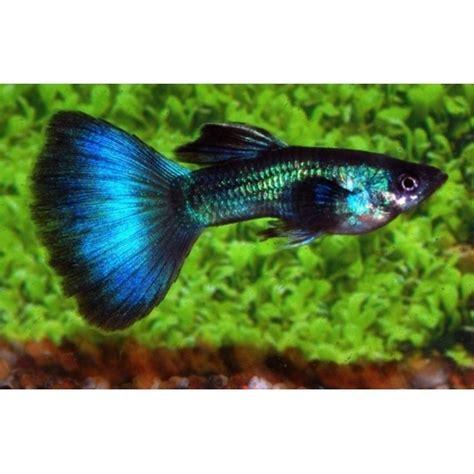 poisson d aquarium d eau douce guppy turquoise