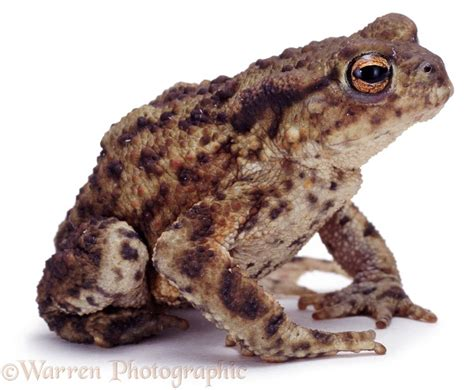 Common Toad photo - WP02123