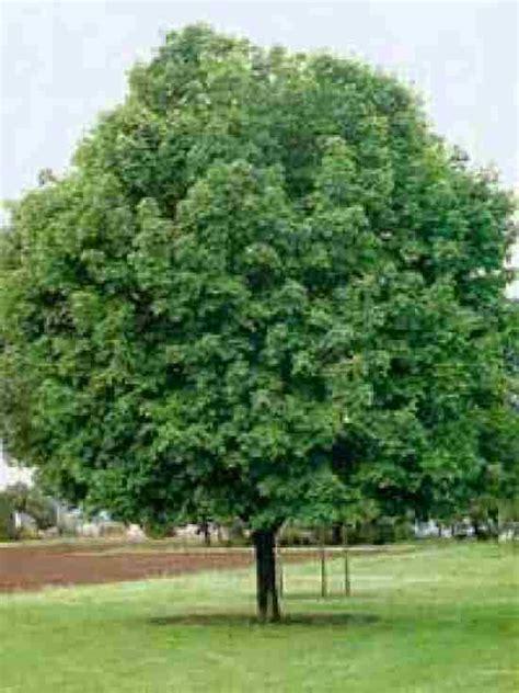 maple tree kingdom trees planet acer platanoides maple