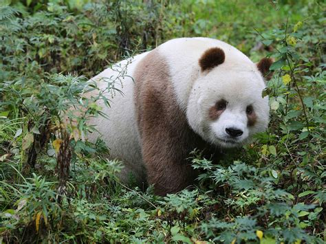 one panda this is the world s only brown panda indy100
