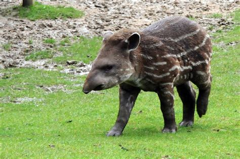 of animals picture 1 of 10 tapir tapirus pictures images