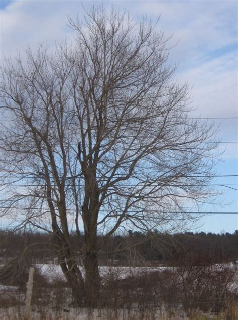 maple tree in winter trees in winter identification by overall shape farmscape ecology program