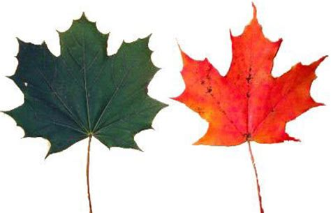 sugar maple vs maple identification
