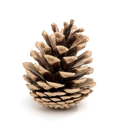 with pine cones pine cone starters chesterfield lifestyle magazine