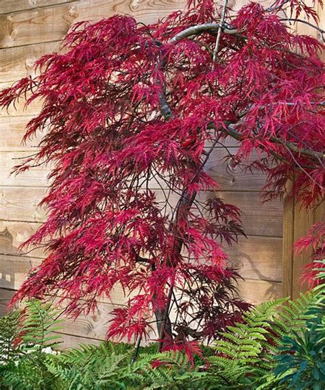 japanese maple tree zone 9 17 best ideas about japanese maple trees on japanese maple garden acer palmatum and