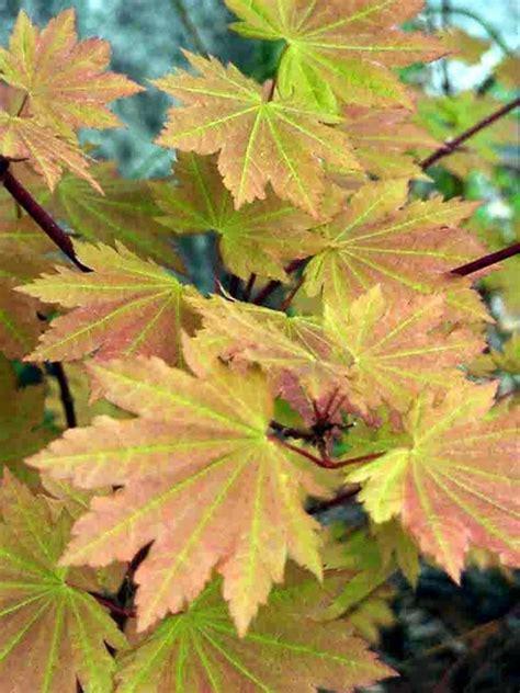 a japonicum vitifolium mendocino maples nursery