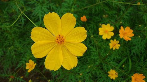 flower images yellow cosmos flowers wallpaper 1920x1080 23751