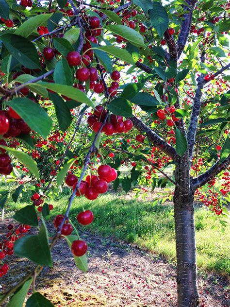 cherry trees michigan s tart cherries so proud water orange blossoms