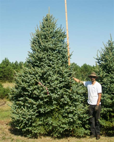 myer trees image gallery meyer spruce