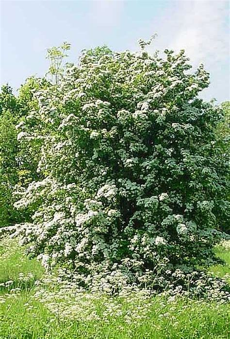 hawthorne tree hawthorn tree pictures facts images on hawthorn trees