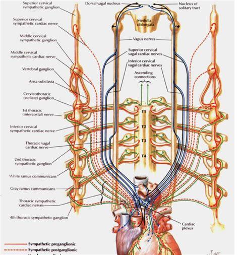cadenas ganglionares slideshare ganglio cervical superior