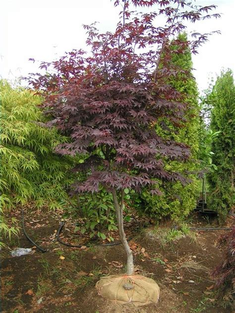 maple tree growing tips 87 best images about japanese maples on gardens japanese maple bonsai and bonsai trees