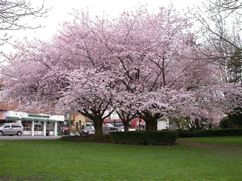 k cherry tree learning with vancouver s cherry blossom festival