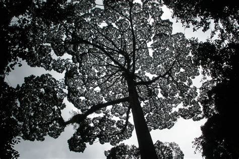 tallest tree in the world the tallest tree in the world www imgkid the image