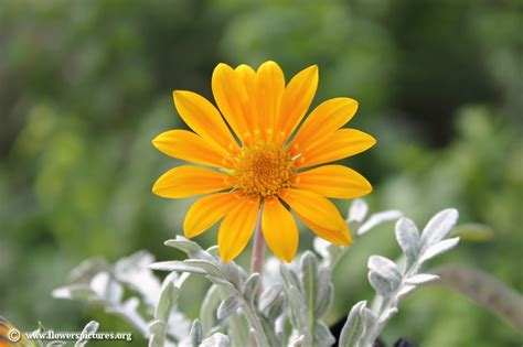 pictures of flowers gazania picture 6