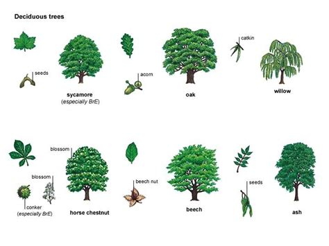 popular types of trees sycamore oak willow chestnut beech ash all in