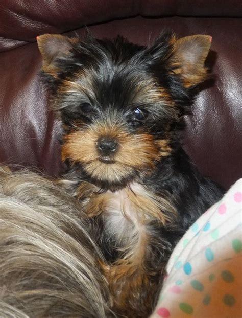 yorkshire terrier sale yorkshire terrier puppies for sale swindon wiltshire