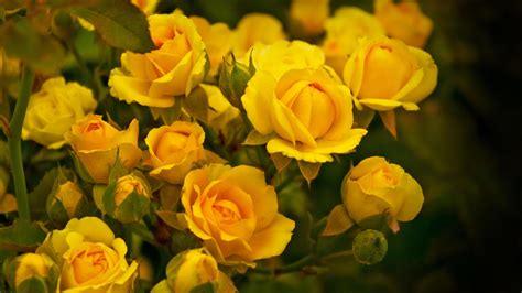 yellow garden flower the gallery for gt yellow flower garden