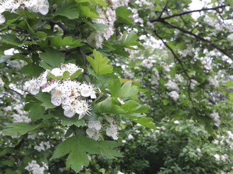 hawthorne tree types of hawthorn tree hunker