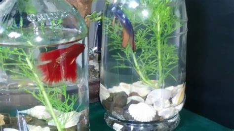 aquascape cupang hias keindahan ikan cupang hias aquarium botol youtube