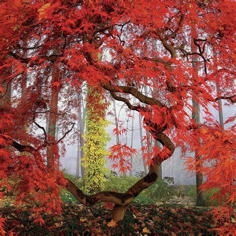 maple tree japanese a japanese maple tree by richard felber