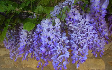 wisteria wallpaper wisteria hd wallpapers 14 flower wallpapers free
