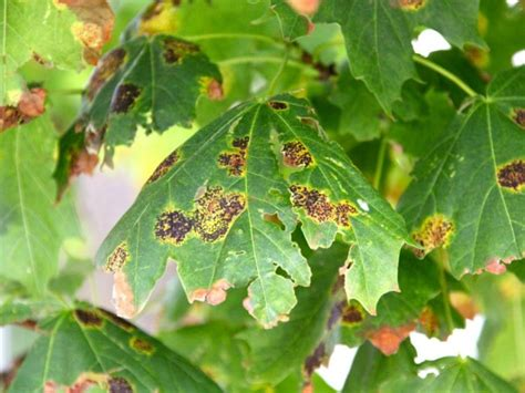 maple tree blight no cause for concern expert says shorewood wi patch