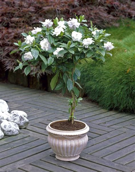 pot tree growing gardenias in pots gardenia tree care and how to