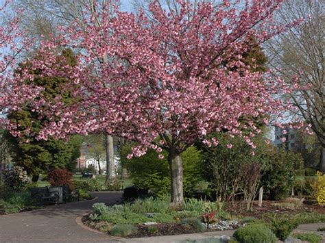 kanzan flowering cherry trees for sale view now