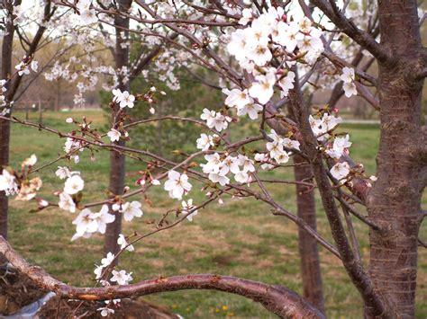 cherry yoshino flowering for sale in boulder colorado