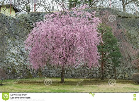 cherry blossom tree in iwate park morioka castle site park editorial stock photo image of