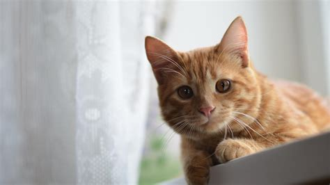 Cat Wallpaper 1920x1080 by Cat Hd Wallpapers 1080p 64 Images