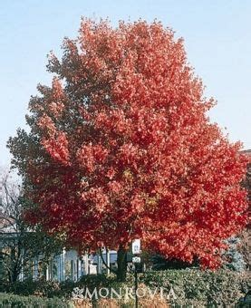 monrovia s october 174 maple details and information learn more about monrovia plants