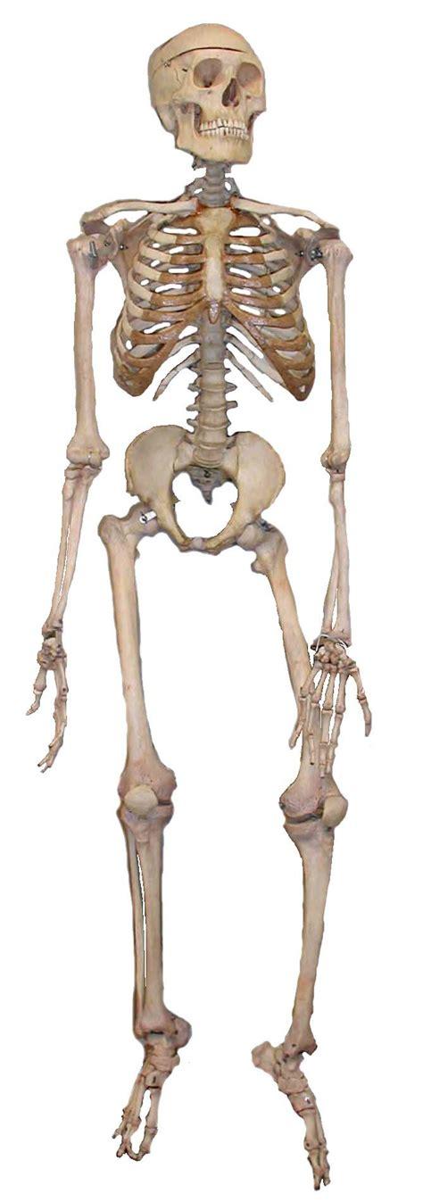 a skeleton human skeleton wikidoc