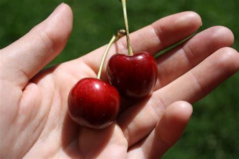 cherry stella tree prunus avium