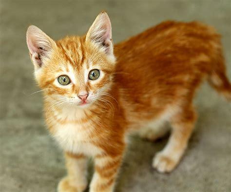 orange cat warriors purrhaps flight rising
