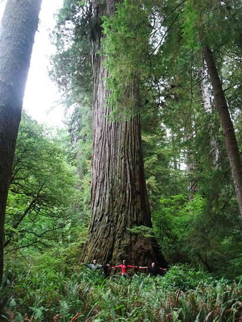 tallest tree in the world the world s tallest tree is hiding somewhere in california
