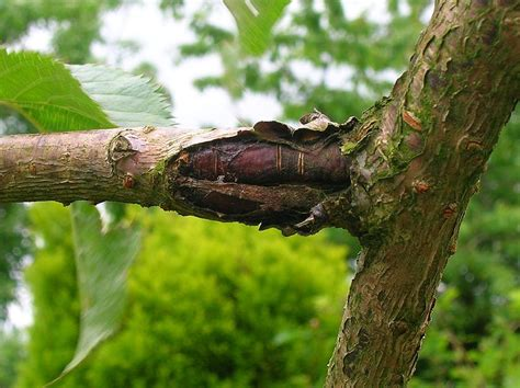bacterial canker how to treat bacterial canker on trees
