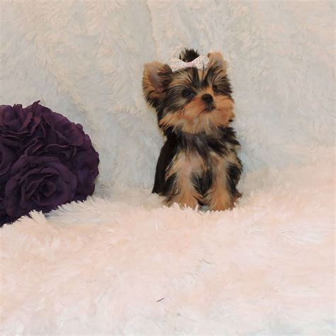 yorkshire terrier sale babydoll face yorkie for sale get babydoll face yorkie