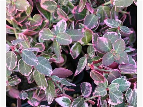 pflanze immergrün winterhart blühend die besten 25 immergr 252 ne pflanzen winterhart ideen auf