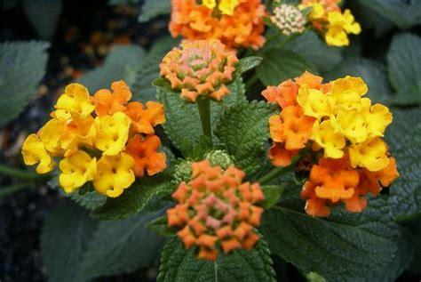 Der Garten Erde Doku by Botanischer Name Lantana Camara L