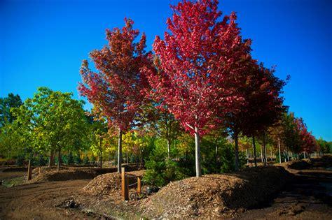 maple tree colorado maple autumn blaze for sale in boulder colorado
